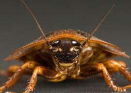 Тараканы – узнаем усатого врага в лицо
