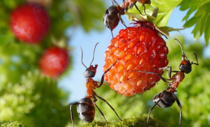 муравьи в землянике