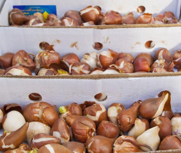 луковицы гладиолусов в ящике