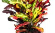 Кротон. Уход в домашних условиях: секреты выращивания необычного цветка