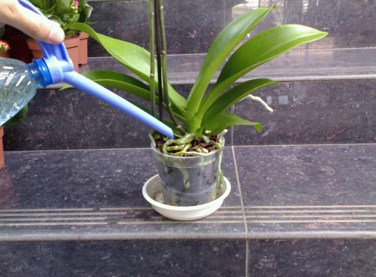 Как поливать phalaenopsis уход в домашних условиях - Danetti.Ru