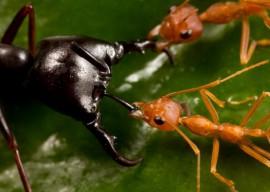 Рыжие муравьи в квартире, как избавиться?
