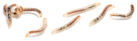 личинки блохи