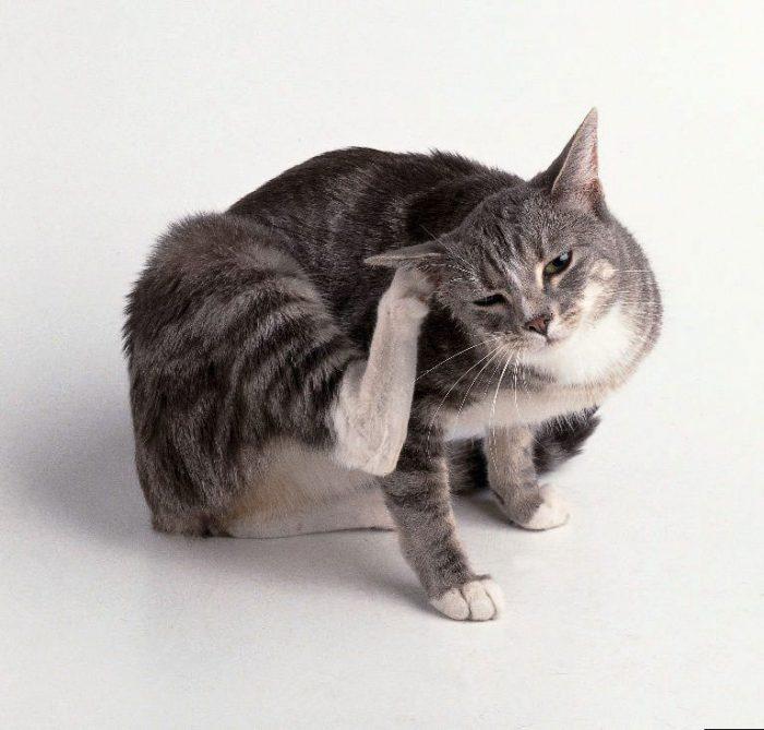 как избавиться от блох у кошек