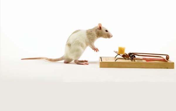 Крысиные блохи