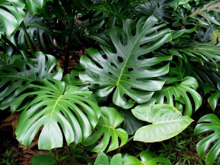 монстера можно ли держать растение дома