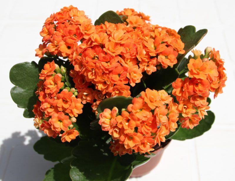 каланхоэ блоссфельда цветение