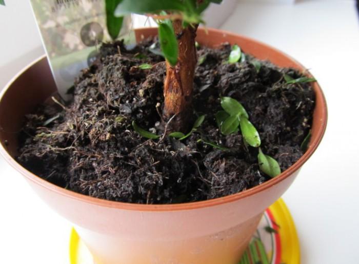 переувлажненая почва в горшке