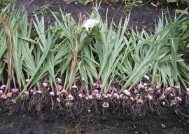 Как хранить луковицы гладиолусов: советы профессионалов