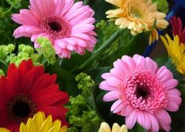 Гербера комнатная: выращивание и уход в домашних условиях