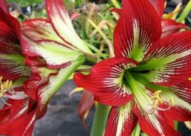 Амариллис уход в домашних условиях: советы цветоводу