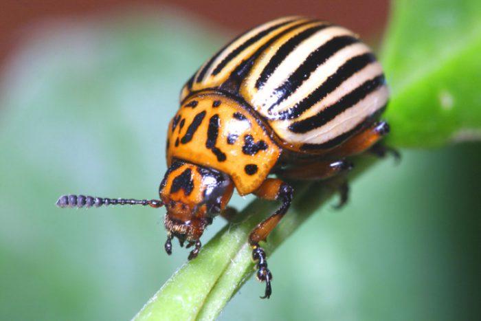 вредители колорадский жук