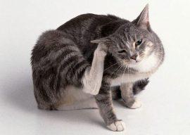 Как вывести блох у кошки – избавляемся в домашних условиях