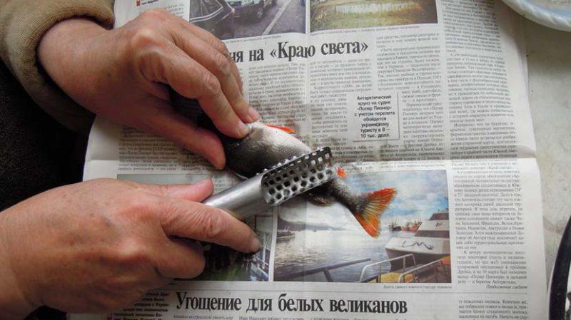 почистить речного окуня от чешуи